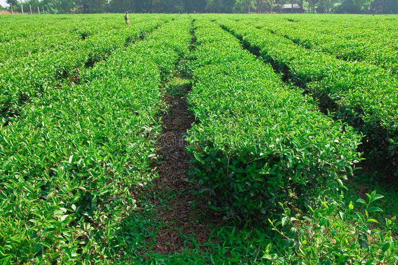 Download Tea Cultivating In North Of Thailand Stock Image - Image of nature, cultivate: 12290383