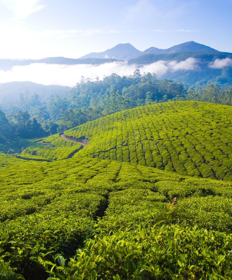 Free Tea Cultivation Royalty Free Stock Images - 15476319