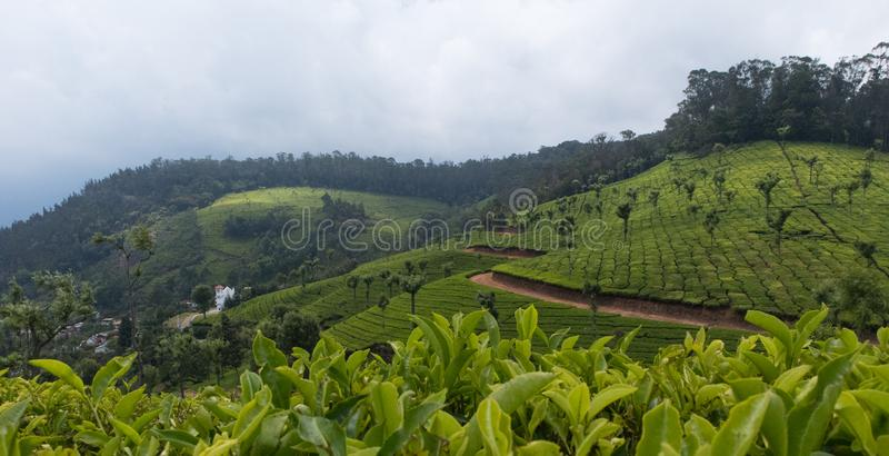 Tea cultivation in the mountains royalty free stock images