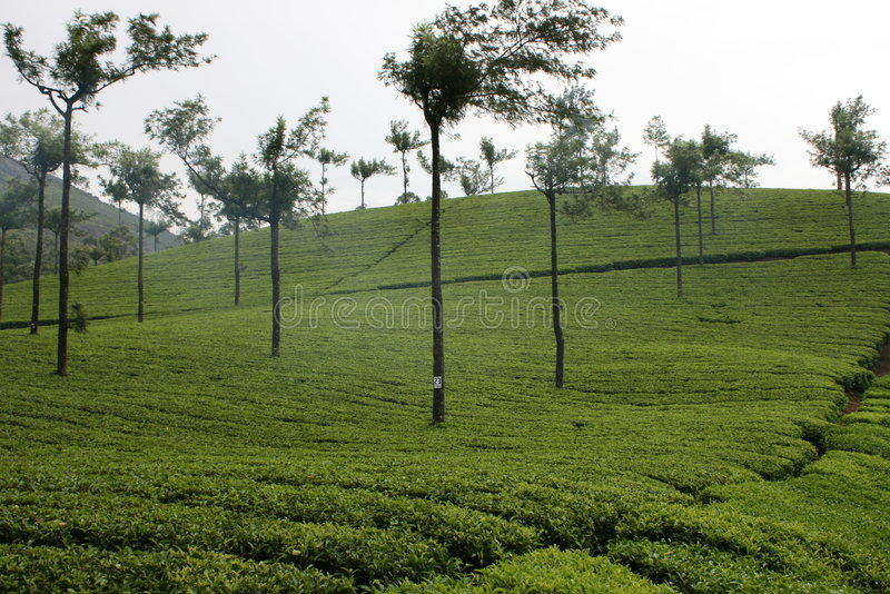 Tea Estate royalty free stock photography