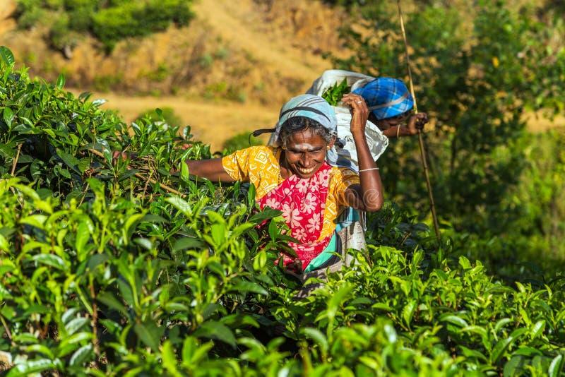 Tea estate in hill country District Sri Lanka stock image