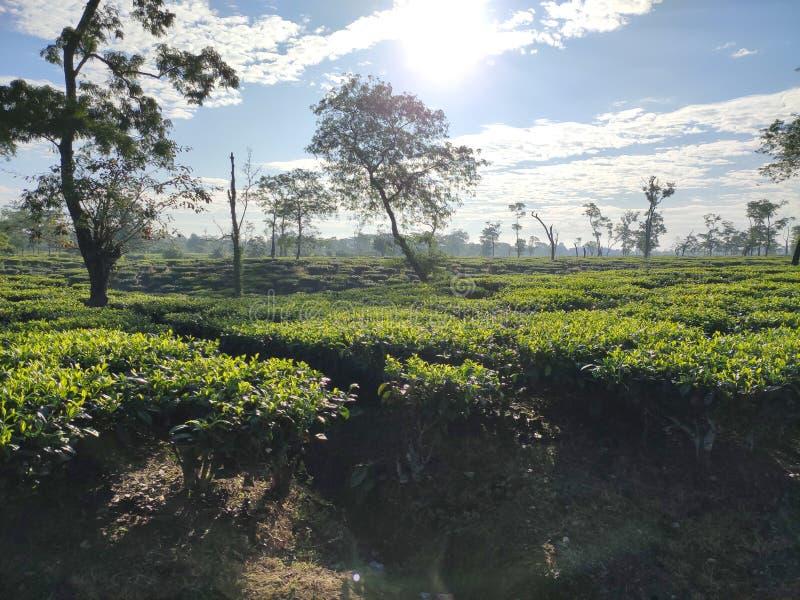 Tea estate in India royalty free stock image