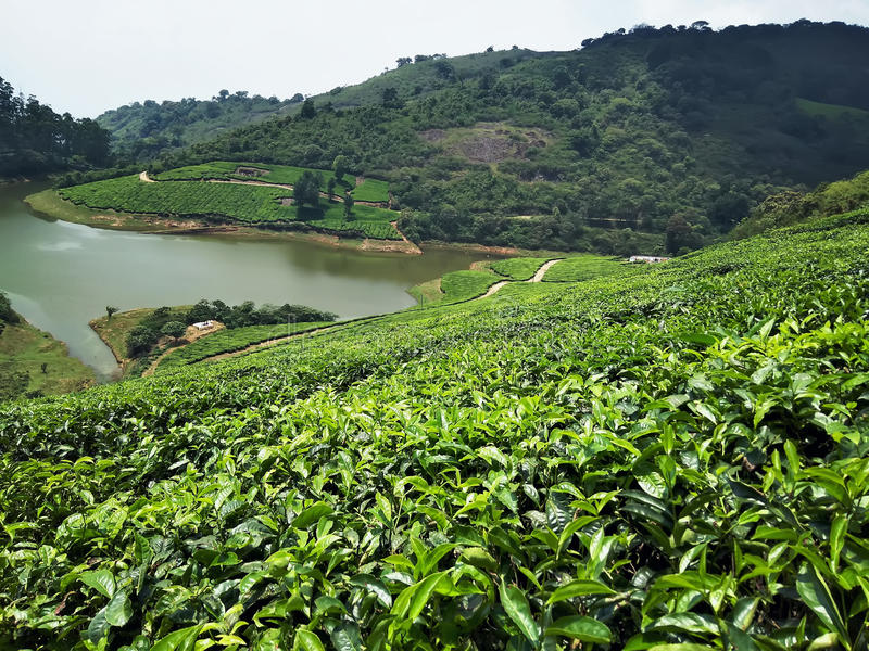 Tea estate with a lake royalty free stock photography