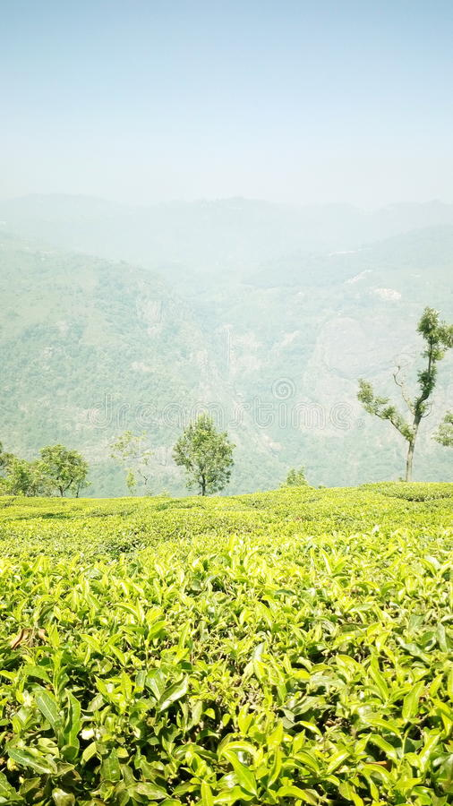 Tea estate. This nice tea estate situated in ooty stock images