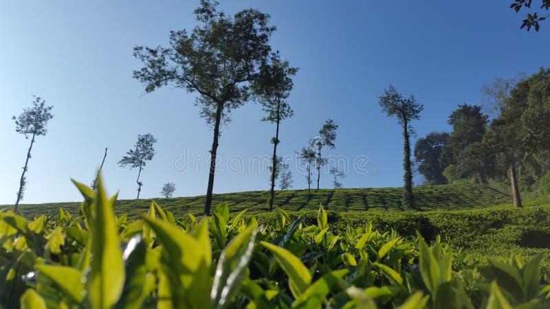 Tea Estate at ooty stock photos