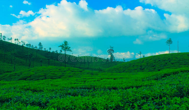 Tea estate royalty free stock image