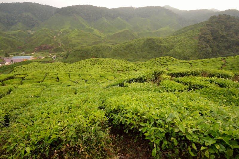 tea för cameron höglandkoloni royaltyfri fotografi