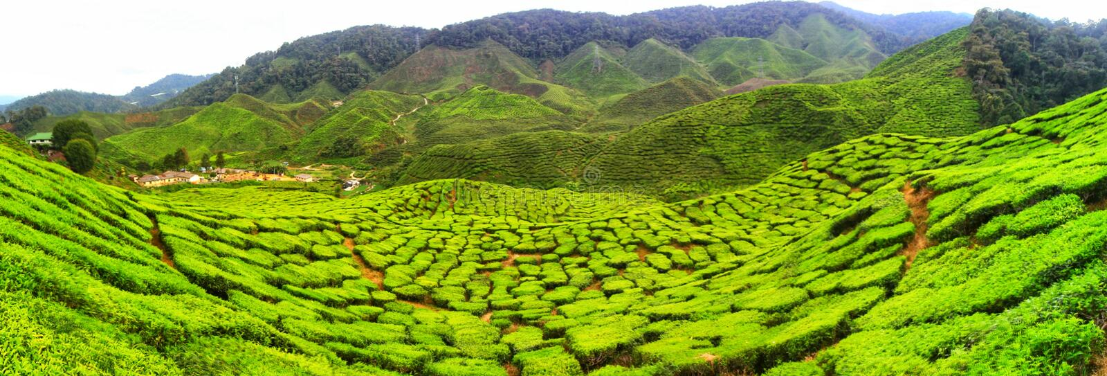 Tea farm Cameron Highland Malaysia stock photography