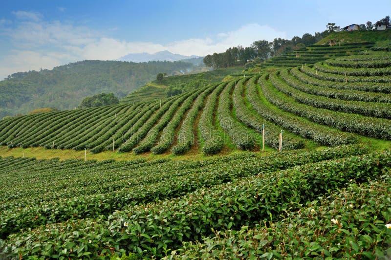 Tea farm field, Thailand. Tea farm field, North of Thailand royalty free stock image