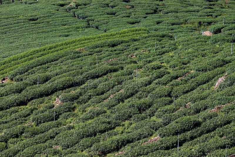 Taiwan tea plantation royalty free stock images