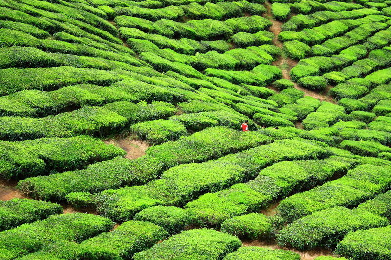 Tea Farm Valley in Cameron Highlands. Green and fresh tea farm in cameron highlands royalty free stock photography