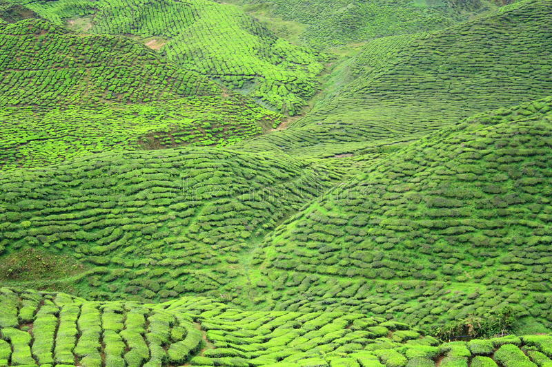 Download Tea Farm Valley In Cameron Highlands Stock Photo - Image: 11198714