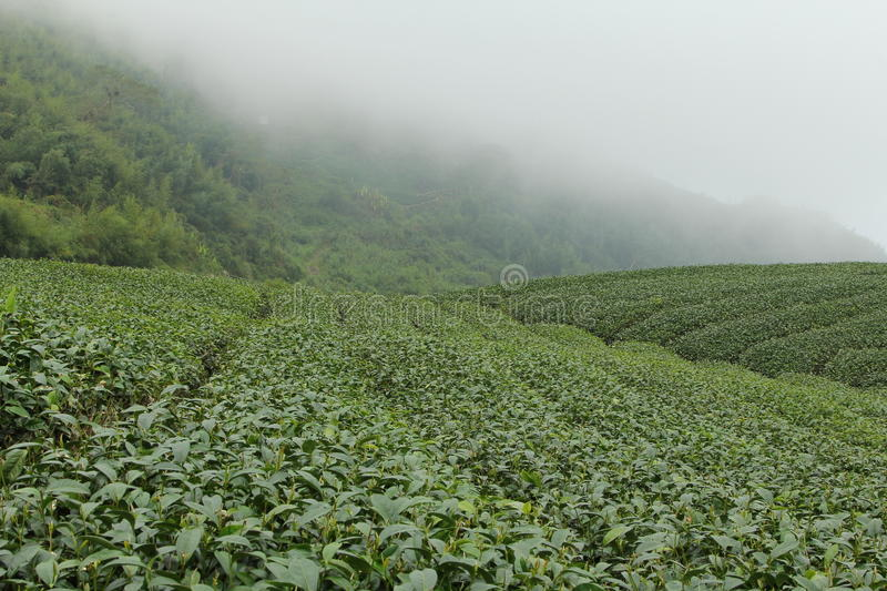 Tea farms on Ali mountain in Taiwan stock image