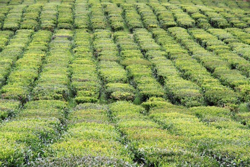 Download Tea field stock image. Image of green, beverage, field - 17683571