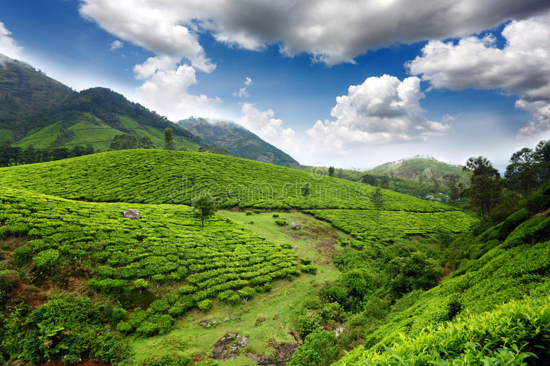 Download Tea field stock photo. Image of farm, environment, estate - 20606634