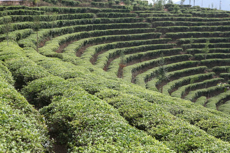 Download Tea Field stock photo. Image of plowland, land, landscapes - 2372202