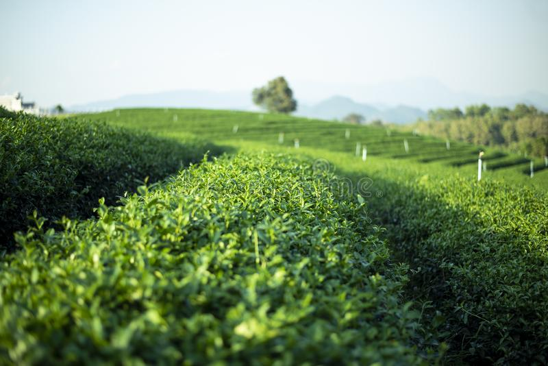 Tea field plantation during day time summer in Chiangrai. Thailand royalty free stock image