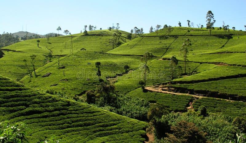 Tea fields royalty free stock photos