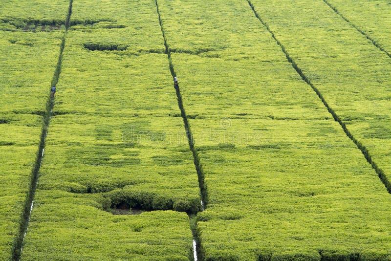 Tea fields stock photos