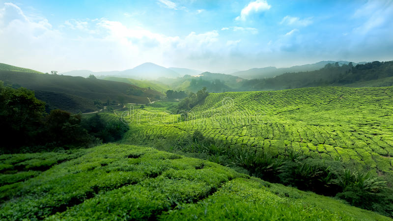 Tea Fields Cameron Highland Malaysia. This is place of Cameron Highland, Malaysia stock photos