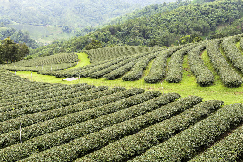 Tea Fields in Mae Salong Chiang Rai, Thailand. Tea is an economic plant for the ethnic minority people on Doi Mae Salong situated in the northern province of royalty free stock photos