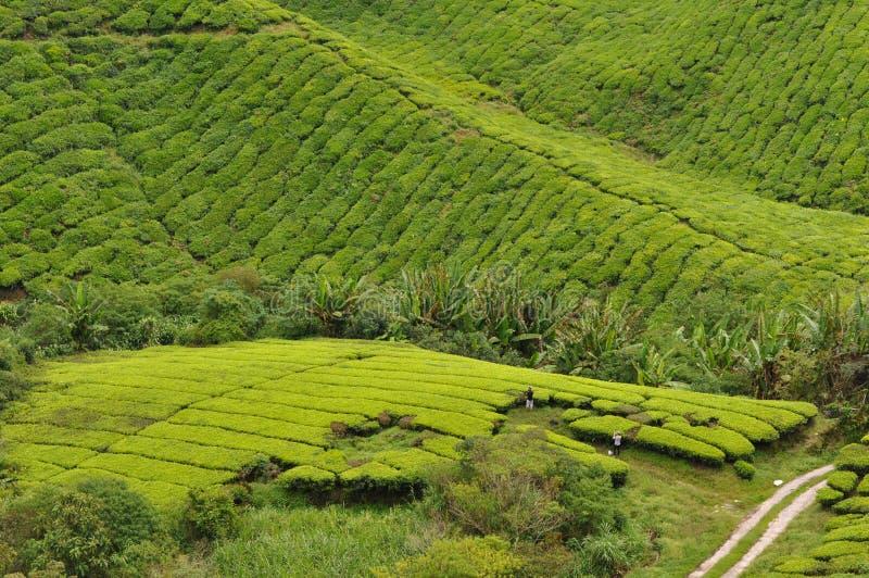 Tea fields royalty free stock image