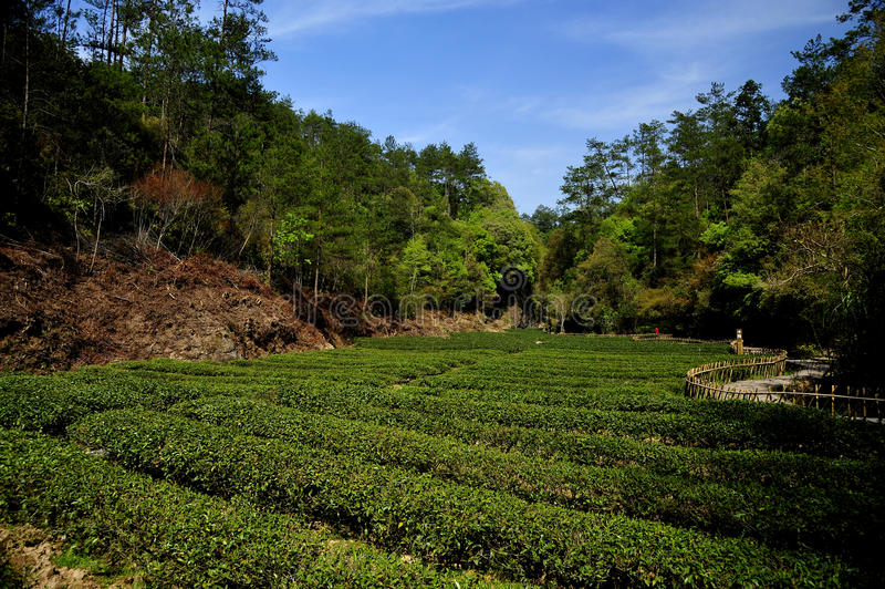 Download Tea garden stock image. Image of environment, geography - 19017283