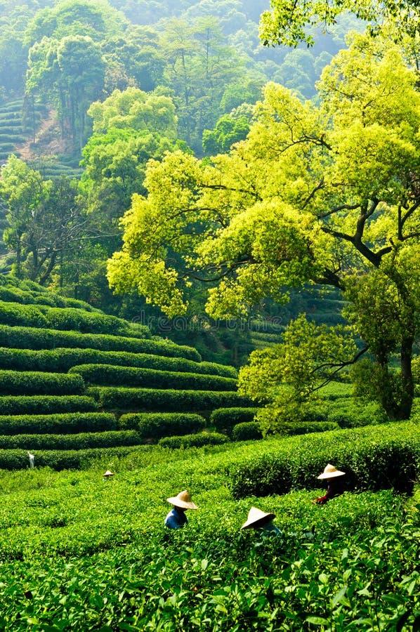 Free Tea Garden Stock Photos - 28600143