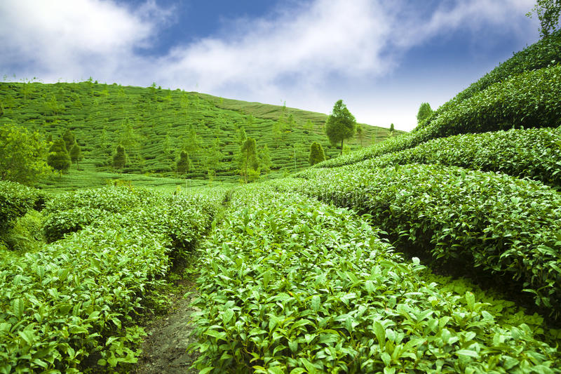 Tea garden with cloud background stock photography