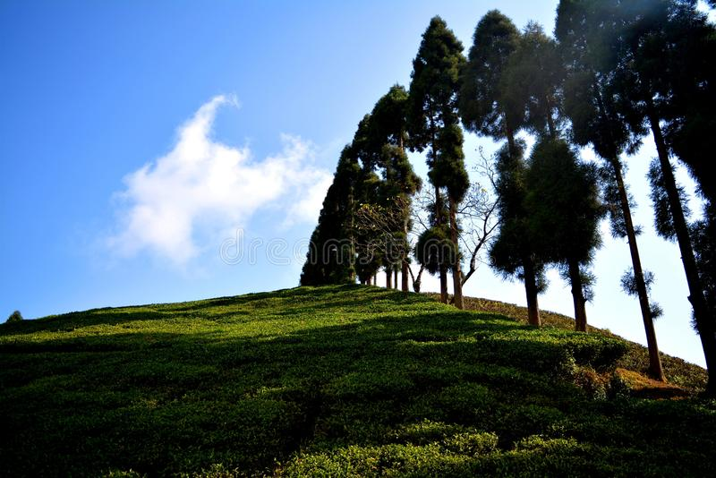Tea Garden Darjeeling. Darjeeling tea is a tea from the Darjeeling district in West Bengal, India. It is available in black, green, white and oolong. When royalty free stock photos