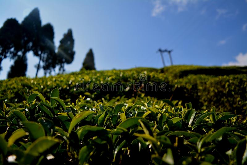 Tea Garden Darjeeling. Darjeeling tea is a tea from the Darjeeling district in West Bengal, India. It is available in black, green, white and oolong. When stock images