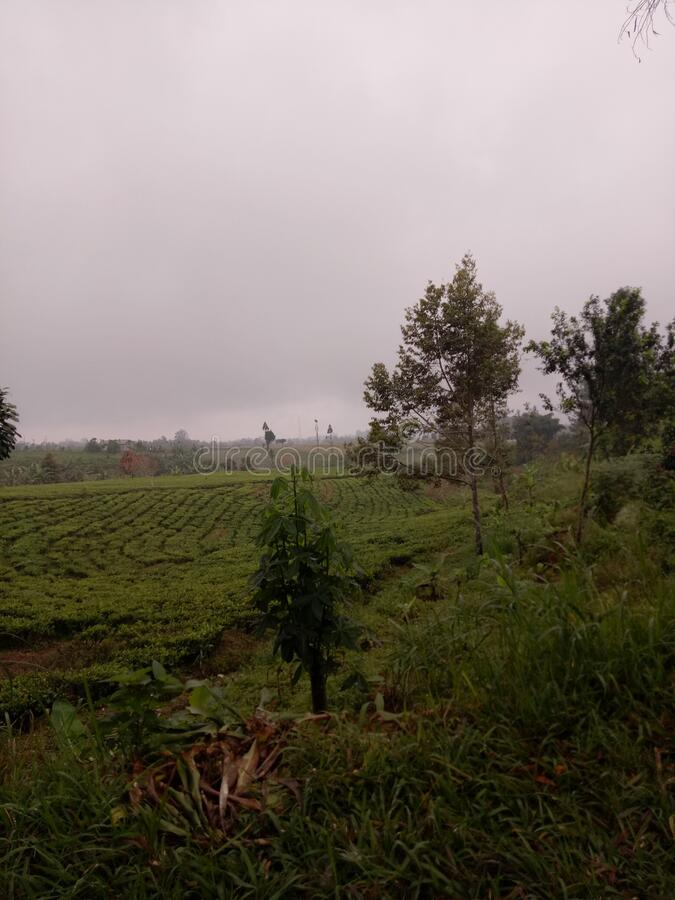 Tea garden in halimun hill. In Sukabumi West Java province Indonesia royalty free stock image