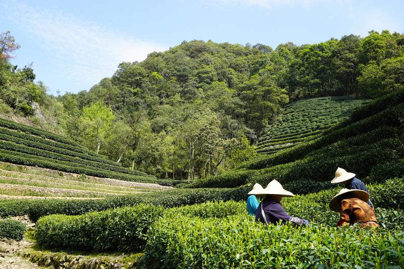 Tea garden in Hangzhou, China royalty free stock image