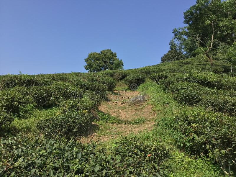 Tea garden and natural beauty of environmental cleanness. Tea garden and natural beauty of environmental cleanness royalty free stock photo