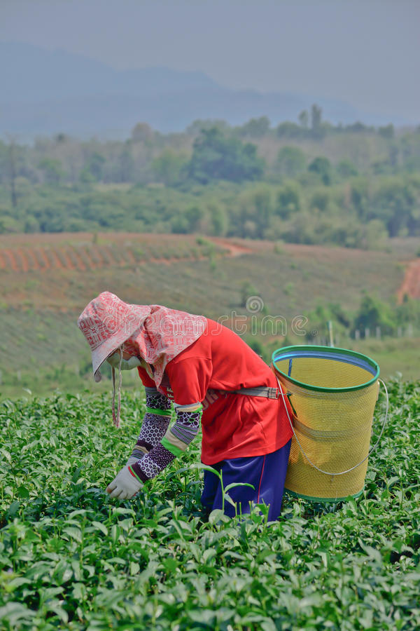 Tea Garden In Northern Thailand Editorial Photo