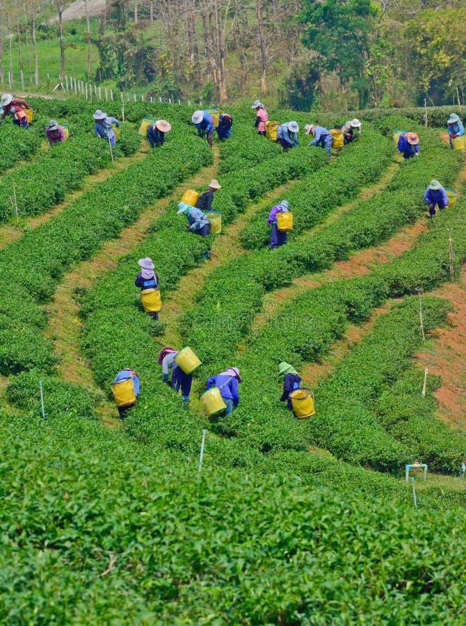 Download Tea Garden In Northern Thailand Editorial Image - Image: 39679655