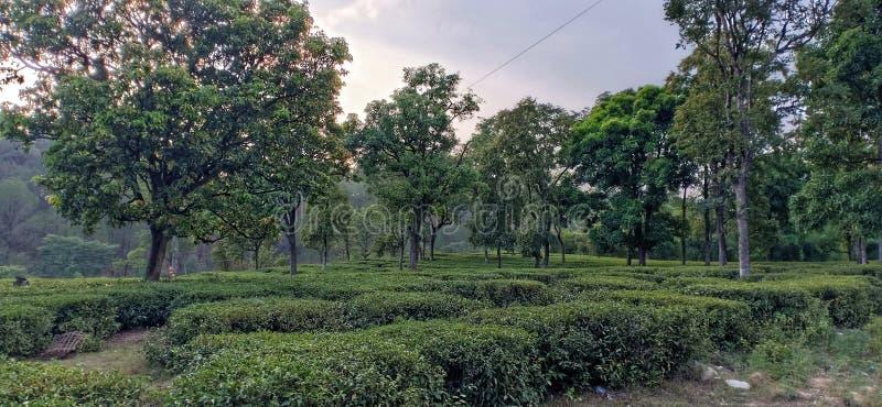 Tea garden palampur Himachal Pradesh. India royalty free stock image
