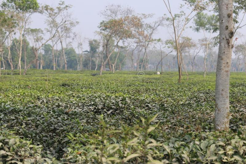 Tea Garden Of Sylhet royalty free stock photo