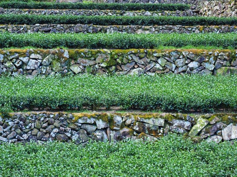 Tea garden in Taipei, Taiwan stock photo