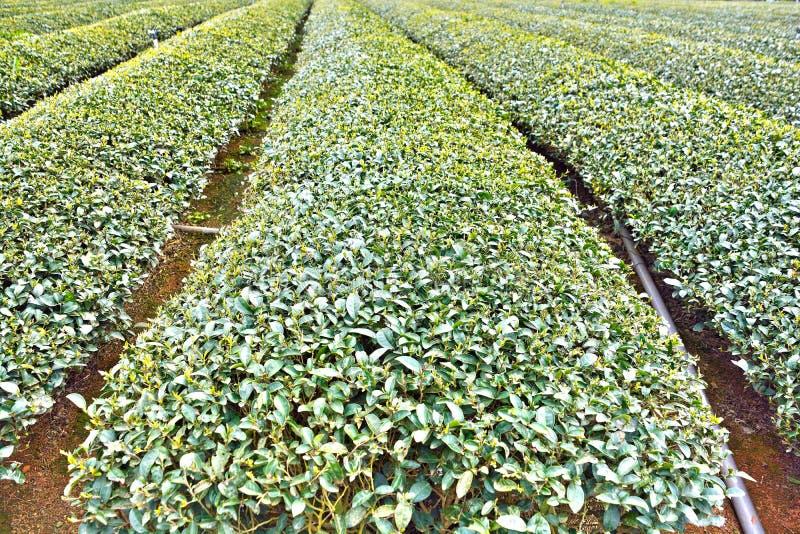 Tea garden,Taiwan stock photos