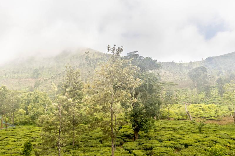 Tea gardens or tea estates at ooty hill station with beautiful clouds. As the background royalty free stock photography