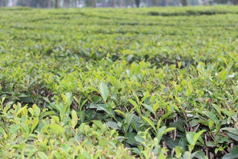 Tea Gardens, Green Plants, Green Gardens. Tea Gardens/Plants Palampur, India royalty free stock photos