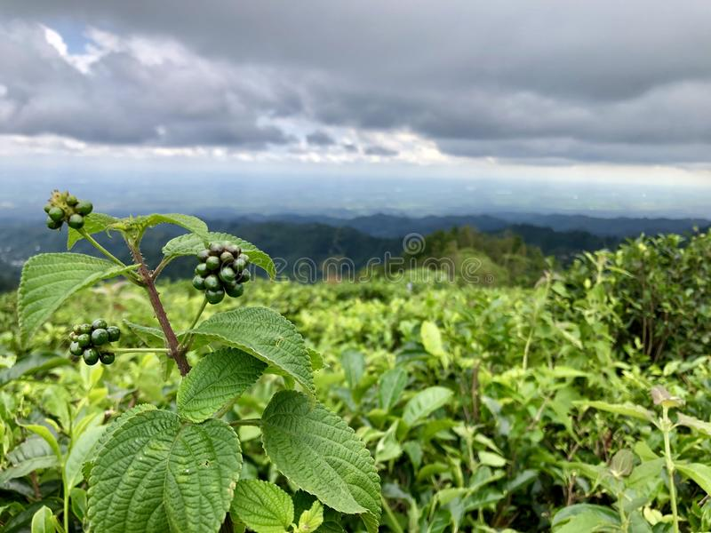 Tea gardens are seen from the top of the hill in Keminung in Karanganyar in Central Java, Indonesia. royalty free stock photo