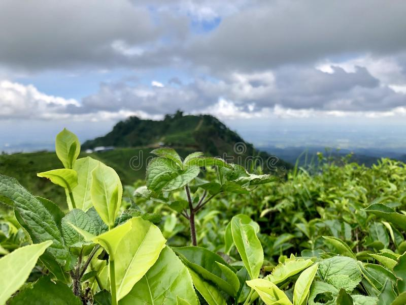 Tea gardens are seen from the top of the hill in Keminung in Karanganyar in Central Java, Indonesia. It is very beautiful with cloudy sky royalty free stock image
