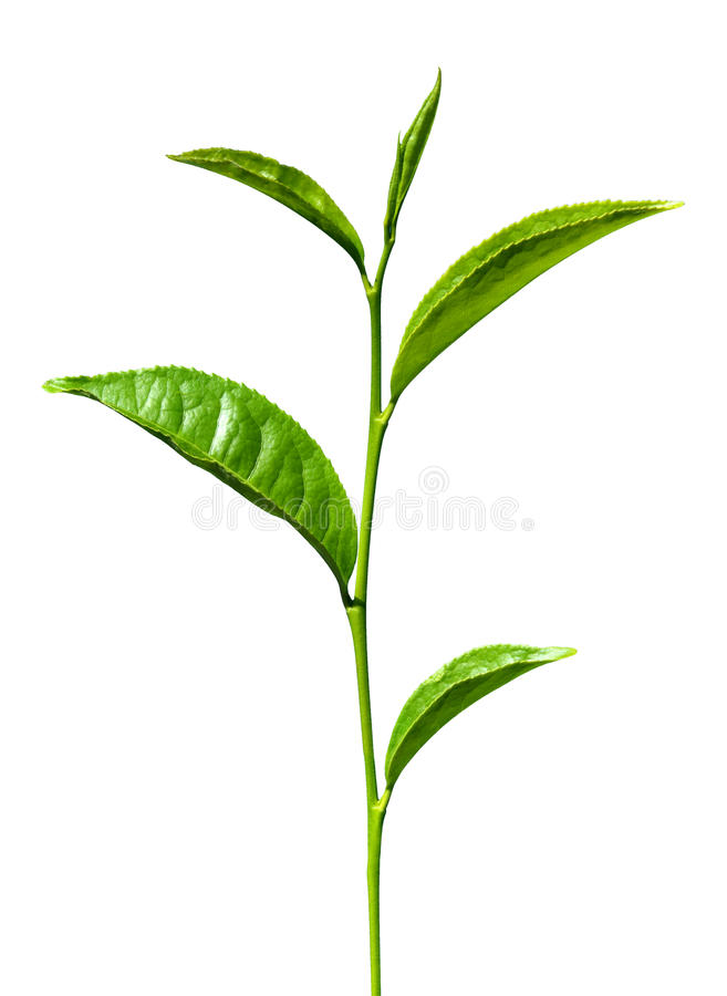 Tea green leaves isolated. On white royalty free stock images