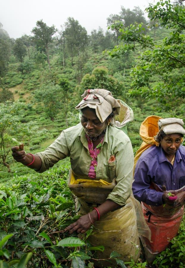 Tea harvest in Ella, Sri Lanka royalty free stock image