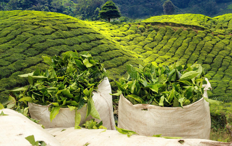 Tea harvest on tea plantation royalty free stock images
