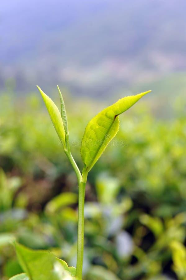 Download Tea leaf stock image. Image of tree, fresh, farming, healthy - 17433699