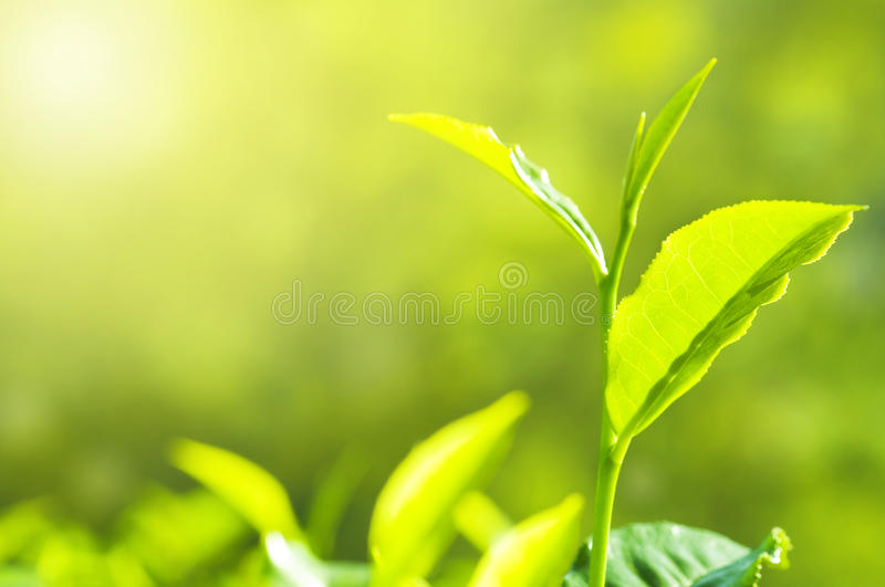 Tea Leaf. With Plantation in the Background (Morning stock image