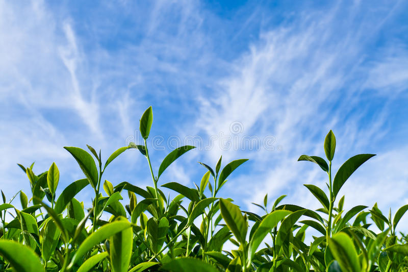 Download Tea leaf as blue sky stock image. Image of farmland, four - 13247651